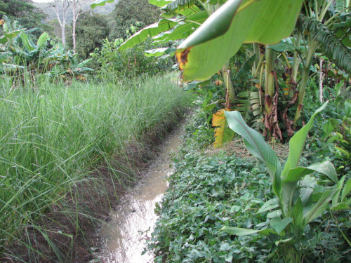 Kitchen garden swale, with vetiver grass and sweet potato
