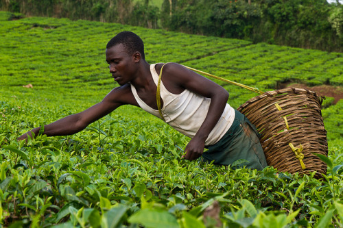 Tea plantation worker, Uganda. (Photography by  Frank Schwellnus)