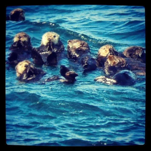 Sea #otters in #Alaska #travel #animals #nature