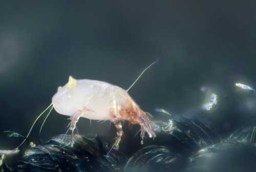 House dust mite (Dermatophagoides pteronyssinus), found in a home in Louvain-la-Neuve, Belgium Scale : mite length = 0.3 mm (photo: Gilles St. Martin)
