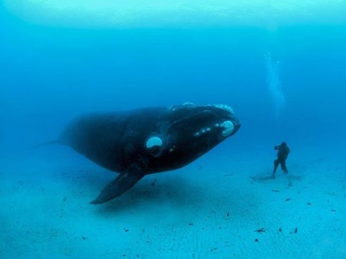 bossfit:  For any divers among us…Brian Skerry captures a Southern Right Whale as it floats towards his assistant in the Auckland Islands.