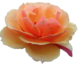 transparent-flowers:  Orange Rose. Rosa hesperrhodos.