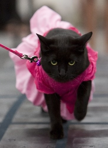 Cat. Leash. Dress.This is a cat in a dress on a leash. Nothing you see today will make less sense.