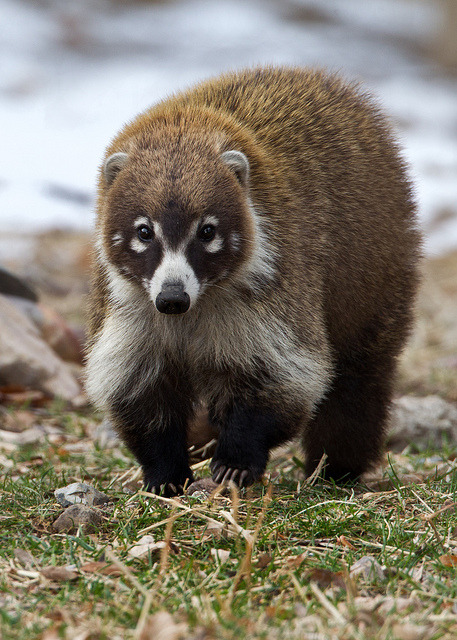 funnywildlife:   Coatimundi by Eric Gofreed on Flickr.