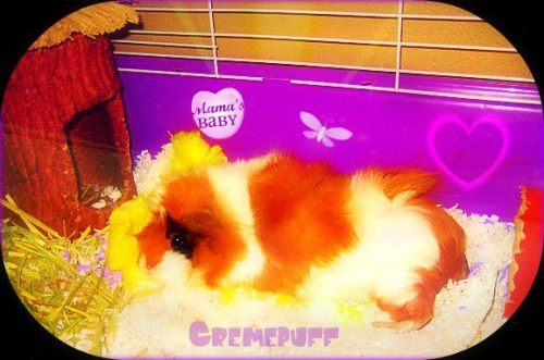 ♥.·:*¨¨*:·.♥R.I.P My Beautiful Angel, Cremepuff❤♥.·:*¨¨*:·.♥                                      *Cremepuff's Tribute* Here lies the most beautiful, precious, perfect Angel guinea pig, Cremepuff (Puffer) Dickens-Underhill. She is loved more than life & is now beautifully frolicking back in Heaven. She is an angel that could only be with me for a couple of years before having to go back home to Heaven with all of the other angels. I have lost a part of me that was my favorite part & I cannot wait until I am re-united with my perfect LoveDove to spend eternity. I will be forever numb now until then, but I am so happy that she is now back home happy & pain-free. We Love & Adore You So Extremely Much Baby Cremepuff. Unconditionally & Eternally, Precious Love. Cannot wait to be with you again!!                                Love You So Much Precious,                                   Mommy, Daddy, Mocha & Family xoxoxoxoxo I love you puFFer!! You are the reason I love Guineas so much now! I fell in love with you from Day 1. Love, Daddy<3 .•:*´¨`*:•. ๑ஐ•May 2011-May 2013.•:*´¨`*:•. ๑ஐ• Cremepuff was awarded 'Pet of the Day' on August 27, 2012 on petoftheday.com  Check it out at http://petoftheday.com/archive/2012/August/27.html