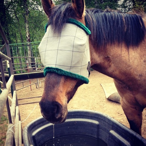 Max, where is your face? #horsehorse #flymask #dun