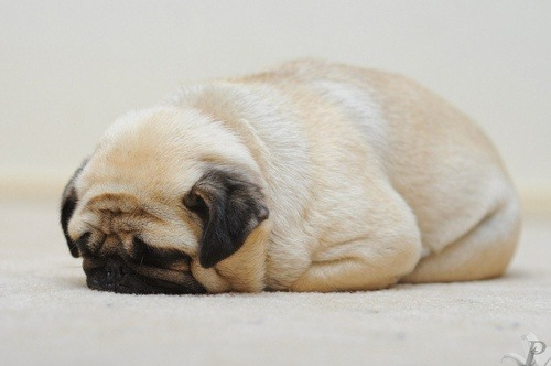 gatlin:   A loaf of pug