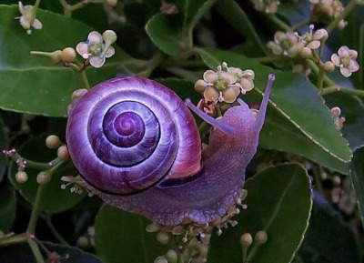 charlottefree:  presenting my newest of favorite critters, the violet snail