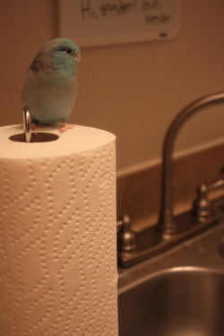 I've found my new favorite kind of perch-with-another-purpose: paper towel rolls.