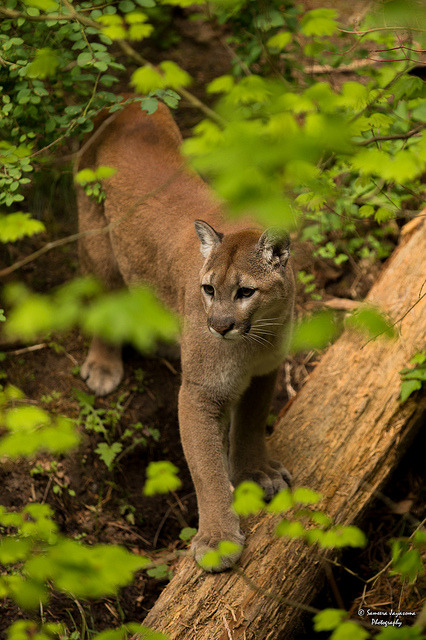theanimaleffect:  Cougar (Mountain Lion) by SameeraMJ on Flickr.
