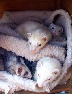 "All my boys have name stories!  Fizzgig - ever since I discovered ferrets as a kid I wanted to name my first Fizzgig after the flaily little creature from The dark Crystal. Fizzy was my first, 23 years later - he got bestowed the name.  Scrat - we couldn't name him at first, then he started hording things.. then we realised it was one specific toy and he would go to great lengths to try and find it each time. Much like Skrat from Ice Age. The name stuck, although with a typo. Rolo - Rolo was a rescue ferret and had a lot of psychological issues. Originally called ""Blaze"" he was kept in a group of un neutered hobs, all with horrific physical injuries caused by fighting - he was the only one we were able to rehome from there (the others went to a rescue). When we got him home he had a lot of problems, he'd never been handled, had never played and was very viscous - it took over a month to introduce him to Fizzgig and Scrat after he was neutered and nearly 3 months until he was comfortable being held. He used to pace a lot and spent most of his time rolling around the bottom of the cage to begin with - a friend of ours started calling him our ""Roly Poly Ferret"" which got shortened to ""Rolo"". The name stuck though and now I call him ""My Only Rolo"" - you wouldn't give anyone your last Rolo so why on earth would you consider giving away your only one? Nico - Ah. Nico. Nico took 4 days to name, we got him while a friend was visiting (who was our transport for picking him up) and said friend happened to bring his copy of Grand Theft Auto 4 with him. My housemate was keen on the game and it was pretty much a daily play on our TV - In the game you play a character called ""Niko Bellic"" who is constantly getting phonecalls from his cousin, Roman with ""hey Niko you wanna go bowling?"" ""hey Niko you wanna go meet some ladies?"" etc and a big focus of his Romans was taking Niko to ""see ladies with the biiiiiig titties"" (apologies for that!). Nico was obsessed with hiding inside my shirt within a day of us getting him. I'm a lady. Yeah. My ferret is named after a guy who gets pressured to look at boobs."