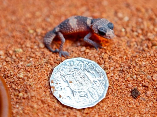 mere-mereology:  allcreatures:   This Banded Knob-tailed Gecko hatched off-display on 4 March at Perth Zoo. Found in the Pilbara region of West Australia, this is the fifth Gecko of its kind to hatch at Perth Zoo since 2010. The Gecko weighed 2.18g when it hatched. The youngster's older siblings can be seen in the zoo's Nocturnal House.  Photo credits: Perth Zoo(via Could You Be Spending 50 Cents On Car Insurance? - ZooBorns)  Someday we will have baby knobbies!  I hyperventilated a little just thinking about it.  i love geckos, especially knobbies, want to keep them one day