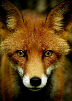 llbwwb:  Fox by ~Lidodido .