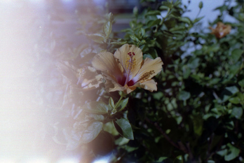 18 on Flickr.Plumeria.  Canon A1. Expired Fuji 100. 35mm.