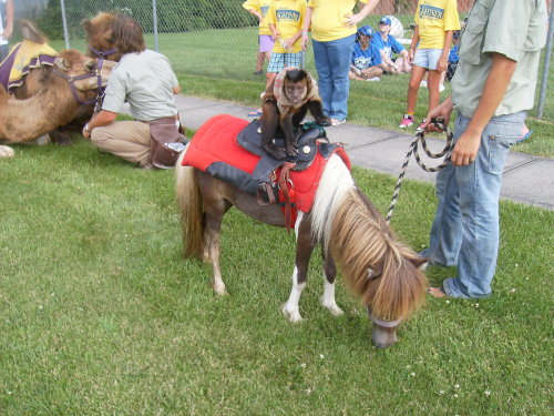 animals-riding-animals:  monkey riding pony
