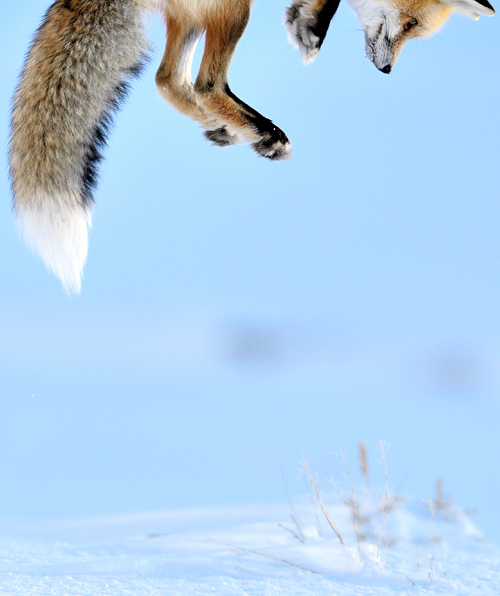 vurtual:  Snow Pounce (by Richard Peters)