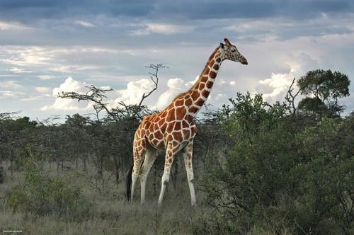 funnywildlife:  Elegance by Ben Heine on Flickr. #Giraffe#Kenya#Wildlife