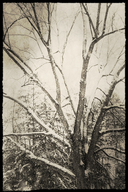 Tree during winter storm #Nemo on Flickr.