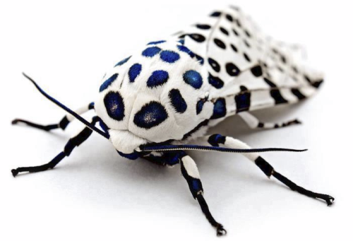 This is the Giant Leopard Moth.
