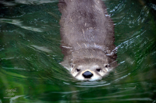 dailyotter:  Otter Breaks through the Water Via TrishaLyn