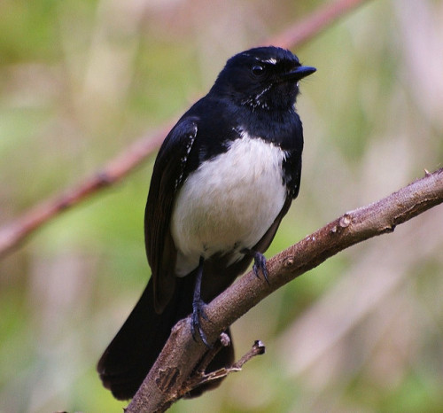 Willie Wagtail by honeypestypie on Flickr.