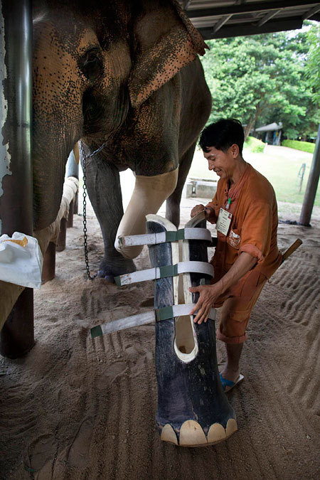 gu-avajuice:  osacred-tribes:  Mosha, the elephant, was rescued when she was seven-months-old and brought to the Friends of the Asian Elephant hospital where she became the first elephant in the world to be fitted with an artificial leg in 2007. Now aged three, she is growing at such a rate she has now been fitted with a second prosthetic leg. Her home in the tropical jungle of northern Thailand, near the Cambodian border, is an orphanage for elephants. REBLOG if you care  omg