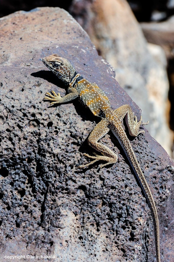 eqiunox:  great basin collared lizard, crotaphytus bicinctores, death valley, ca by Arto Hakola on Fivehundredpx
