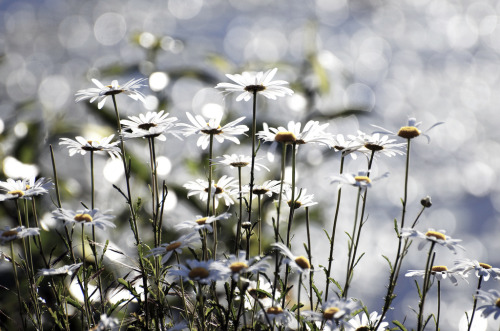 isaac-lonetree:  Wild Daisies Pondside (by russell.tomlin) Another floral, but it IS Spring after all.