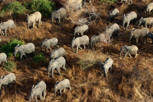 rhamphotheca:  African Elephants in Danger   A herd of elephants graze in Zakouman Nationak Park in this April 5, 2013 photograph. The park, located 800 kilometers east of N'Djamena, Chad, has seen 90 percent of its elephants poached in the past decade. The African elephant is the largest living animal on land, and also one of the most in-demand. The ivory in elephant tusks is believed to be medicinal in some Asian cultures, though no scientific proof exists of any such claim. Since the 1980s, the population of the African elephant has halved—from 1.3 million to around 600,000. Photo: Michael Lorentz/AFP/Getty Images (via: TakePart.org)