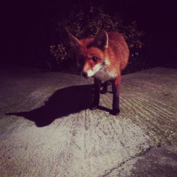 n-zie:  hi mr fox  last night my lovely boyf and i stepped outside the house to find this hungry little creature at first very still in the shadows, then growing more curious and curious until it was brave enough to come near us. we rewarded it with some yum salmon. At first a little shy, and then getting a bit more confident probably knowing we didn't mean him any harm.  He ate from my hand and dashed away from Noah's ballsy small kitten which jumped at the fox any chance it got. It was funny to watch, the fox seemed a bit taken aback at first but then didn't let the cat keep him from getting more gourmet grub. this was one of the most rewarding experiences/ something i'll never forget, I've only dreamed of coming this close into contact with a little fox, and last night this humble creature was millimetres away from touch