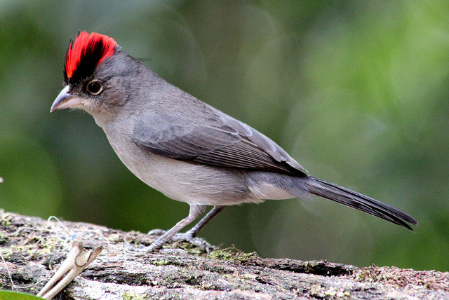 fairy-wren:  pileated finch(photo)