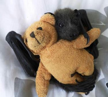 soulanome:  ceruleancynic:  teratocybernetics:  sigridellis:  Bat with teddy bear.  I made a sound like a seal being stepped on.  OH MY GOD  How is this level of cuteness even possible.