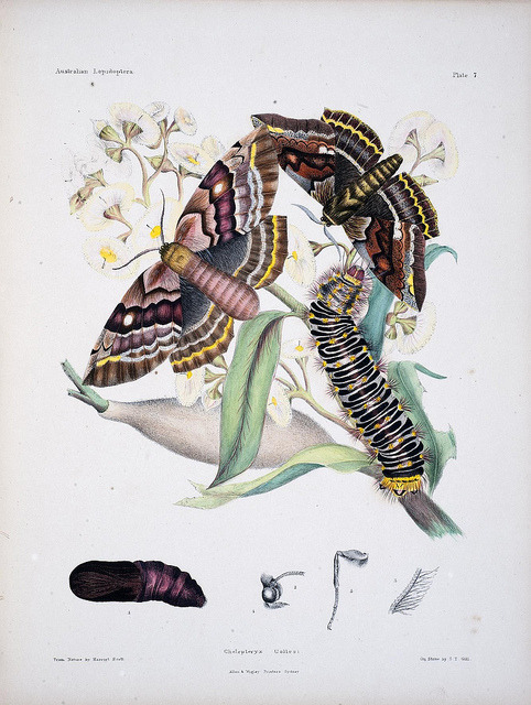 Australian lepidoptera and their transformations, drawn from the life by BioDivLibrary on Flickr. London :John van Voorst,1864, 1890-1898..biodiversitylibrary.org/page/35774497