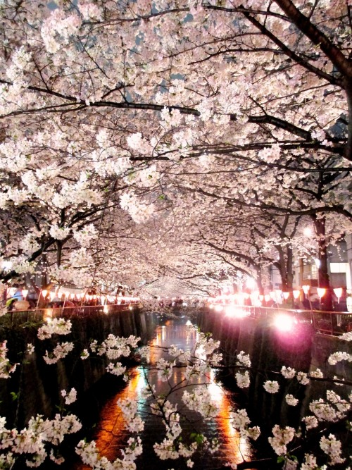 Hanami is the Japanese tradition of picnicking under the cherry blossom. We'd love to see your cherry blossom pics wherever you are in the in the world. Upload them to our facebook page and we'll share the best with everyone Original picture posted by xxxeuphoriaxxx:  Full bloom ~