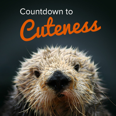 "montereybayaquarium:  Celebrate the return of our exhibit sea otters on March 23 by participating in ""Countdown to Cuteness"" on Facebook! Each day we'll reveal a fun photo, video or otter fact—just click on the highlighted day. On certain days (check back often) you can enter our ""Countdown to Cuteness"" sweepstakes for a chance to win an exclusive, behind-the-scenes tour of the exhibit—and meet some of our star otters! You'll also get free Aquarium access for the day and an Aquarium gift card to use in our Gift & Bookstore or restaurant.  Bonus: Based on entries received each week, we'll select two weekly winners to receive an ""otterly"" delightful gift package.  Check it out via your Desktop.  Via your mobile."