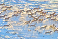 Pronghorns   Photograph: Discovery Channel