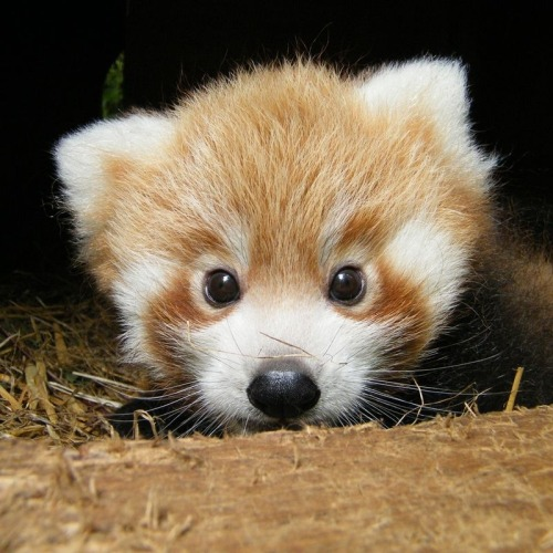redwingjohnny:  Baby Red Pandas Emerge For The First Time These little fellas came a surprise to their keepers at the Cotswold Wildlife Park, who didn't know that the secretive parents had mated. Three months after being born, the unnamed cubs have taken their first steps outside of the nesting box. via buzzfeed.com/animals