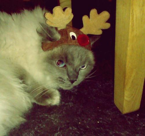 take that off cat! you look like the grinch with that grumpy face on. it isn't even christmas anymore.