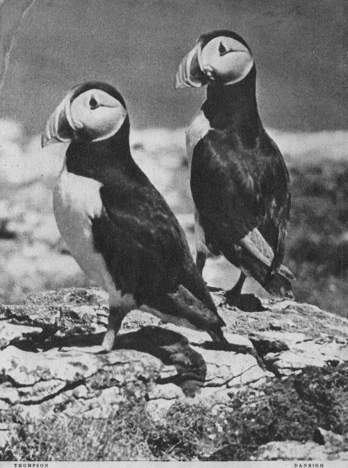 adelphe:  Puffins Lilliput, June 1945