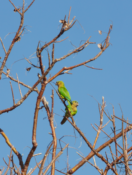 Finally succeeded getting the parrots! They are so skittish but this morning I stayed in the car and was able to get right up under the tree.