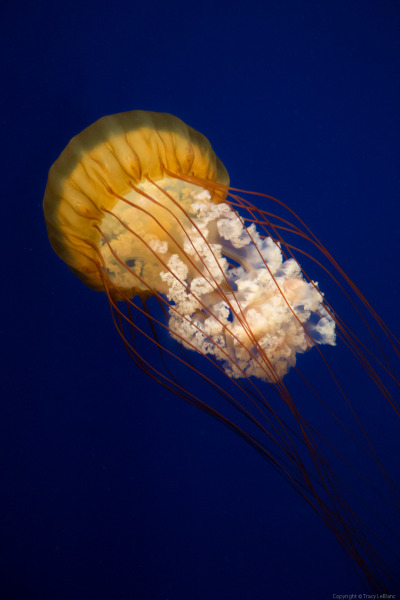 Pulse. Sea Nettle Jelly Fish at the Georgia Aquarium. Atlanta, Georgia.