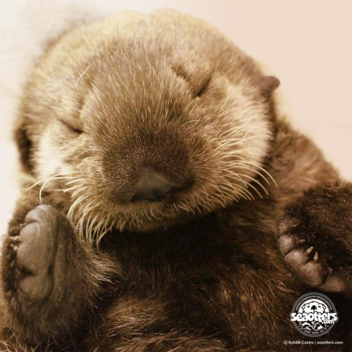I saw this outrageously cute photo on the twitter feed for http://seaotters.com.   Sorry I don't know who the photographer is but I had to share!