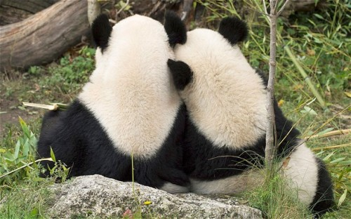 Giant panda Fu Hu cuddles with his mother Yang Yang in their enclosure at the Vienna Schoenbrunn Zoo a day ahead of the long voyage of Fu Hu to Chengdu, China. Photo: EPA/DANIEL ZUPANC / SCHOENBRUNN ZOO