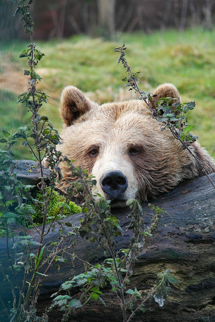 greasyhippie:  Brown bear resting on tree stump by rafdundee on Flickr.