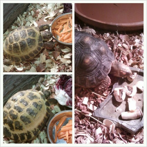 Herbie, Hugo, and Hegemone love their veggies. #tortoise #buzzbombcreatures