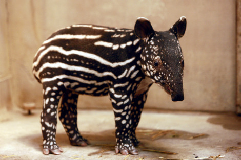 tahlalaliaaa:  tapirfacts:  HAPPY WORLD TAPIR DAY! April 27th, 2013. Have a tapirerffic day!  —tapirfacts  omg wat <3