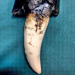 Tyrannosaurus rex tooth. Can also double as a: dagger, railroad spike, killer banana.