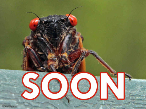 "jtotheizzoe:  The Cicadas are Coming (to the Northeast) When I think childhood summers, I remember long days, sno-cones, playing outside, and that the ever-present hum of cicadas. Their wing-beating buzz was, and is, the ambient soundtrack to warmer months.  The northeastern US is about to get a visit from a very special bunch of these sporadic summer visitors. Certain groups of cicadas only rise to the surface to breed every 17 years, littering the ground with their exoskeletons and bodies, and the air with their constant call. When the soil temperature begins to steady in the mid-60's, ""Brood II"" magicicada nymphs will hatch underground and crawl to the surface by the billions, and the air from Georgia to Connecticut will start to come to life. While not every cicada species hatches in 17-year patterns, these particular ""broods"" may follow the pattern to avoid predators predicting their arrival or to keep from going extinct during long periods of cold weather. For many of you, this may be the first time in your life that this group has hatched. Let Cicada Mania (yes, that's a real website) tell you how to see this year's ""periodic cicadas"", some theories of cicadas and prime numbers, and what years other periodic cicada broods will hatch in your area. Help WNYC and Radiolab track soil temperatures with home-made cicada thermometers, and follow the Swarmageddon in real-time. Teachers: Make the cicada brood arrival part of your lesson plan with this activity. Most of all, get out there this summer and just stop. Listen, look and take a moment to appreciate just how much life is lurking under and above us at any moment.  And watch where you step. Crunch.  FUCK CICADAS"