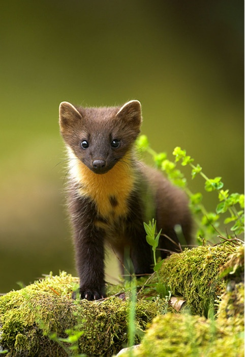 lizardking90:  A young pine Marten - KenDodsDadsDogsDead  Spamming cute fluffy animals rn, don't mind me