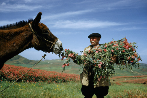 natgeofound:  A man feeds donkey sulla flowers and foliage from its own load near Gangi, Sicily, Italy, January 1955.Photograph by Luis Marden, National Geographic